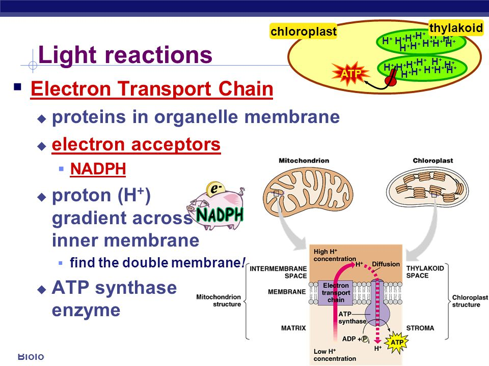 Light reactions Electron Transport Chain