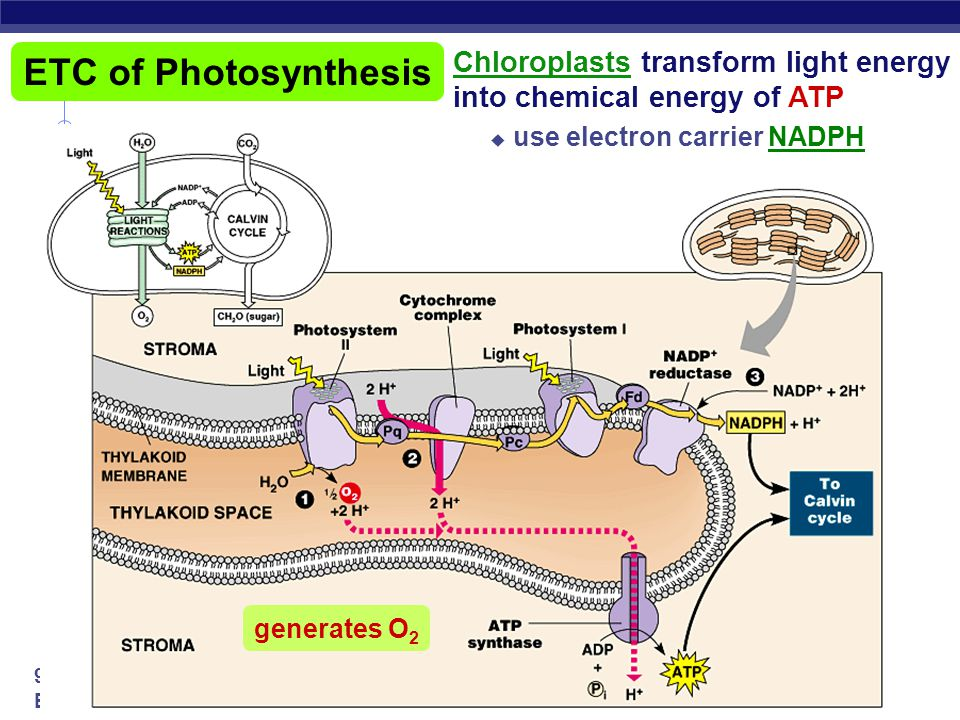 ETC of Photosynthesis Chloroplasts transform light energy into chemical energy of ATP. use electron carrier NADPH.