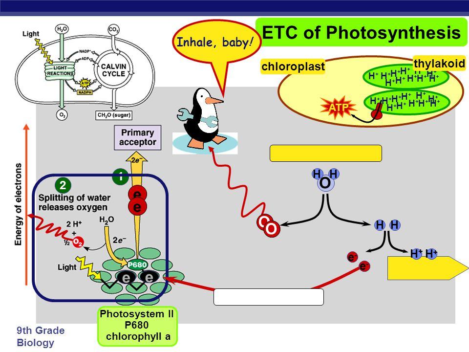 Photosystem II P680 chlorophyll a