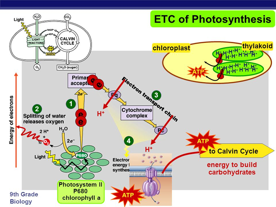 energy to build carbohydrates Photosystem II P680 chlorophyll a