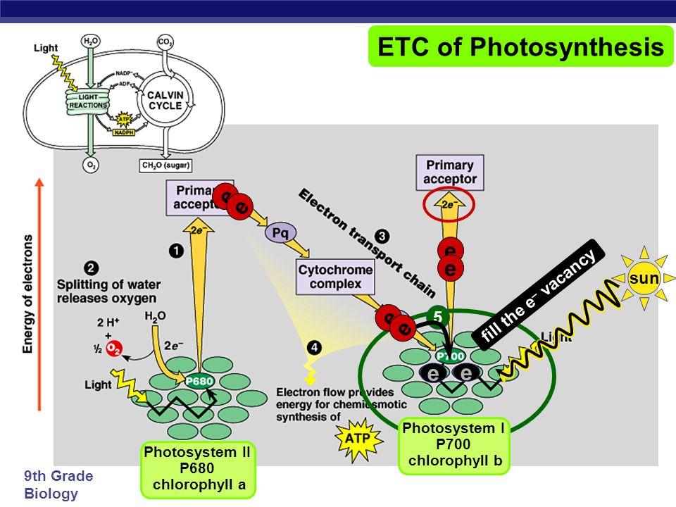 Photosystem I P700 chlorophyll b Photosystem II P680 chlorophyll a
