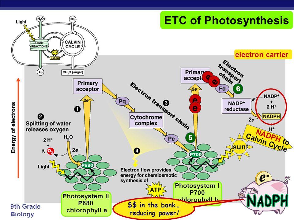 ETC of Photosynthesis e e electron carrier 6 NADPH to Calvin Cycle 5