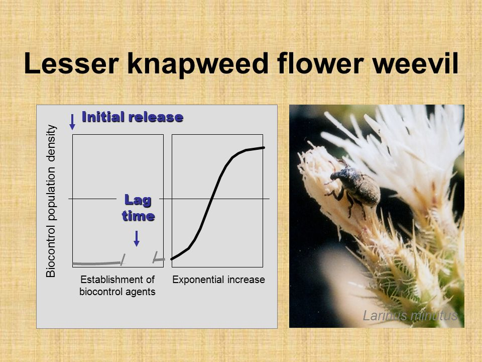 Lesser knapweed flower weevil