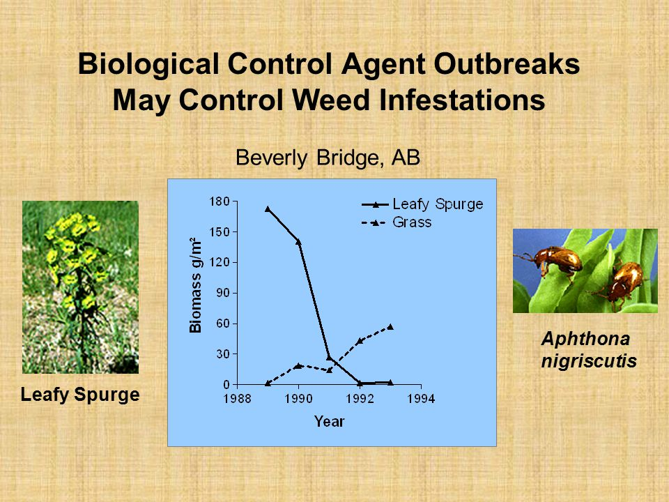 Biological Control Agent Outbreaks May Control Weed Infestations