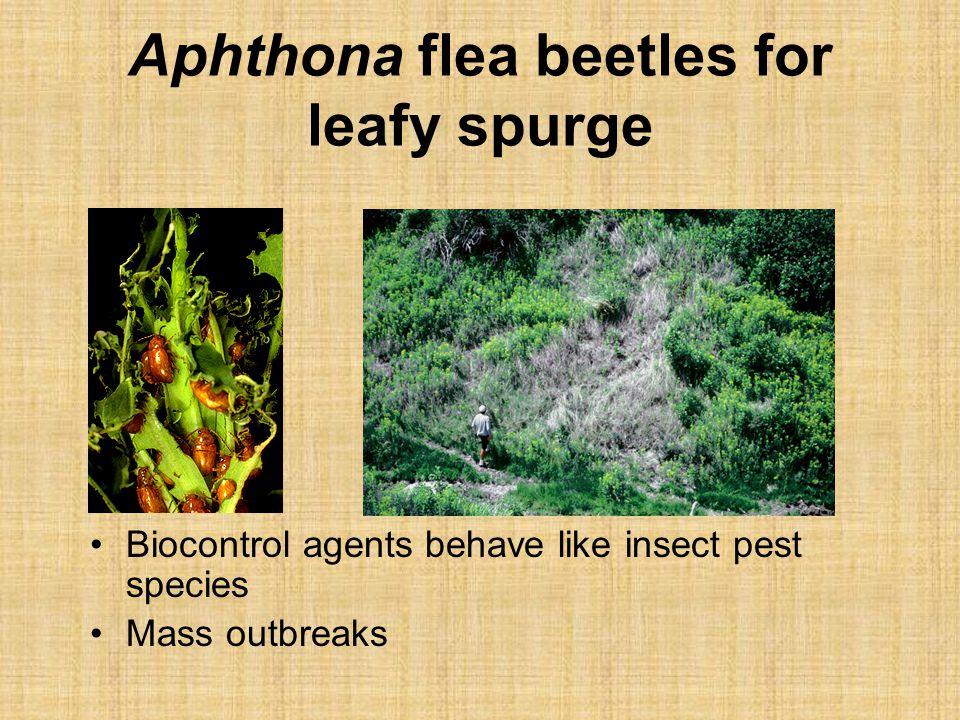 Aphthona flea beetles for leafy spurge