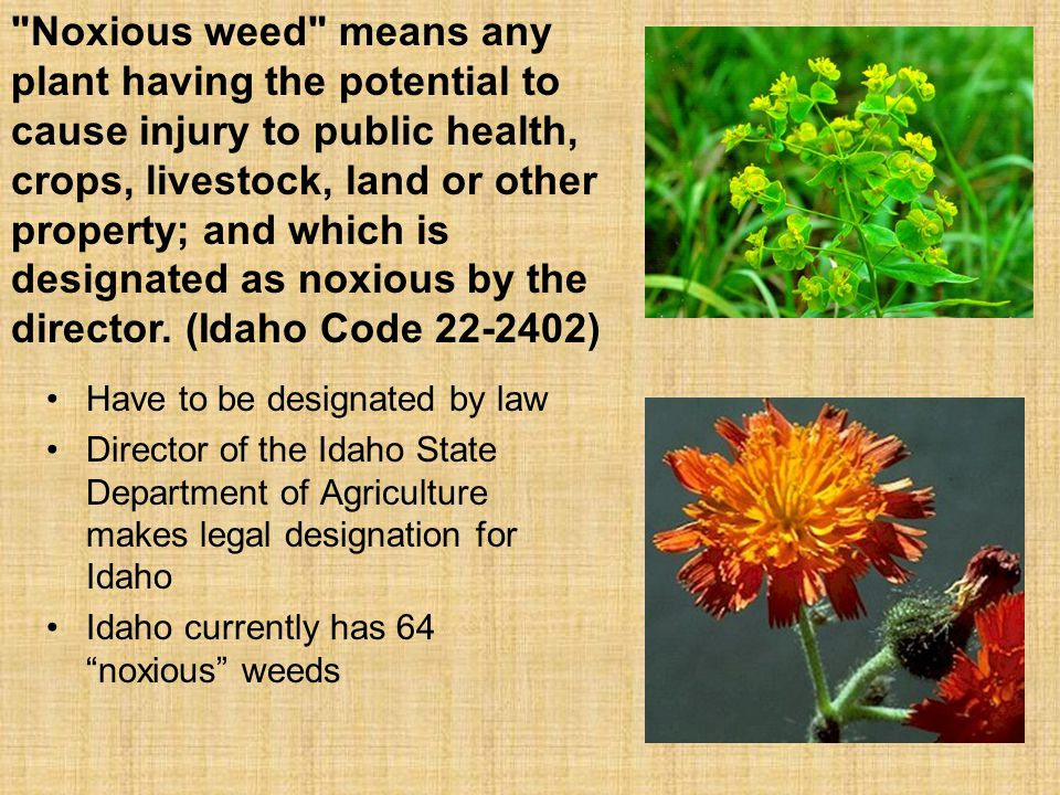 Noxious weed means any plant having the potential to cause injury to public health, crops, livestock, land or other property; and which is designated as noxious by the director. (Idaho Code 22-2402)