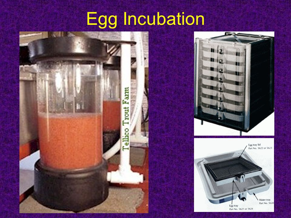 Egg Incubation