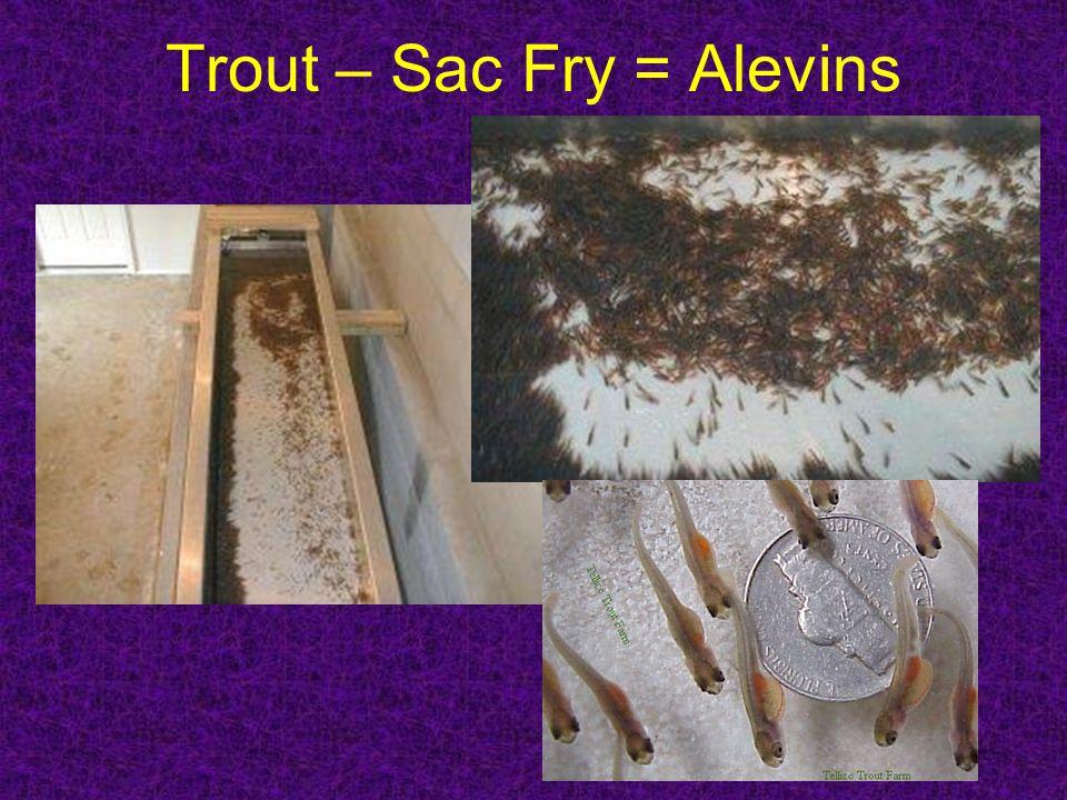 Trout – Sac Fry = Alevins