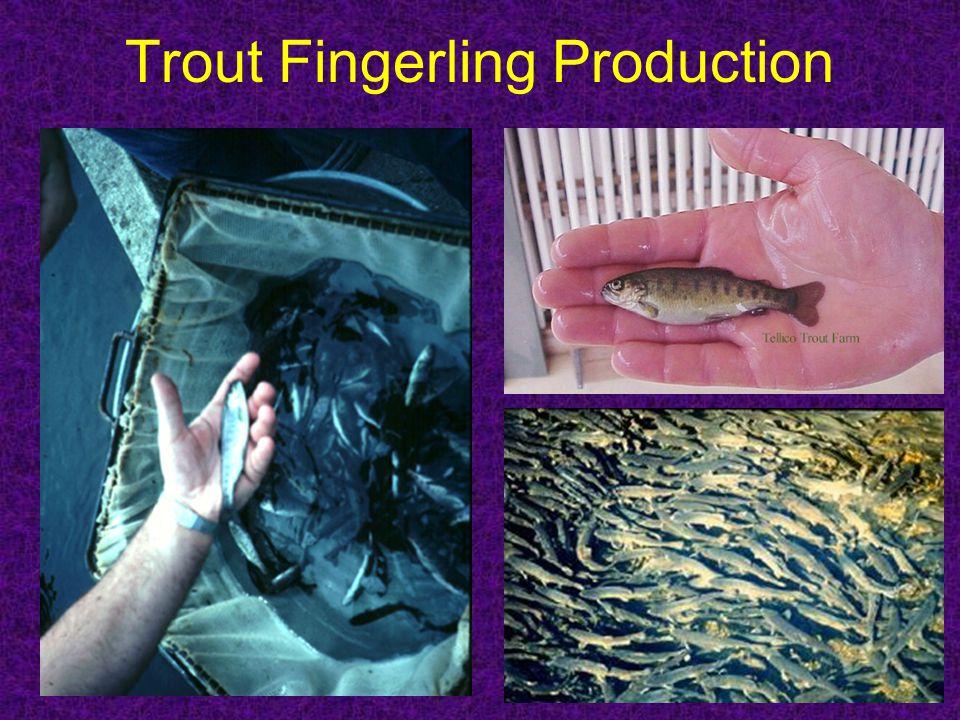 Trout Fingerling Production