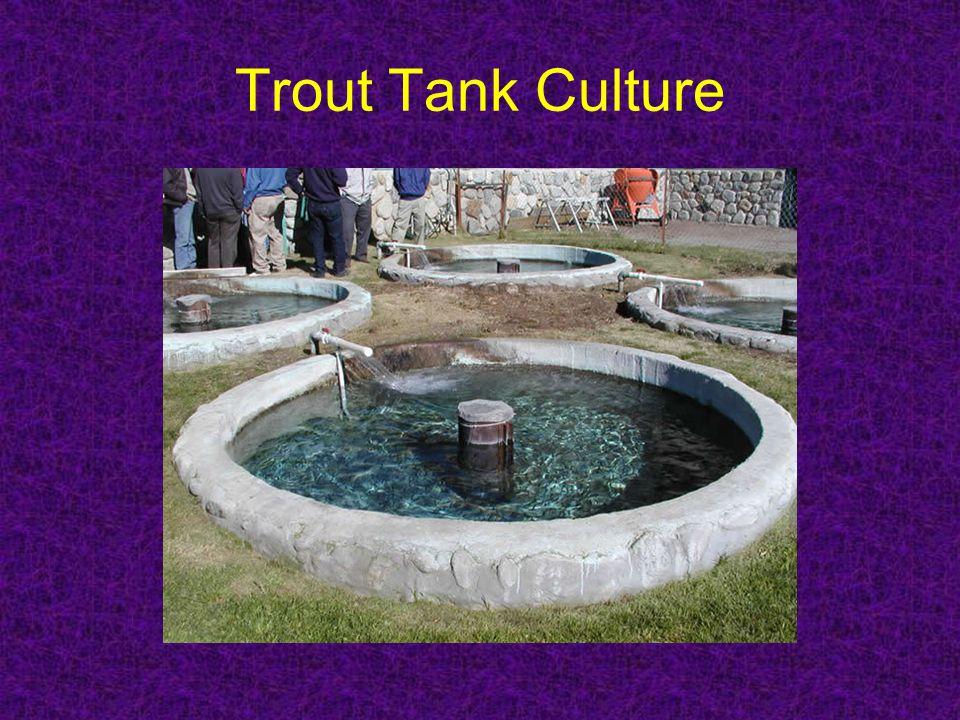 Trout Tank Culture