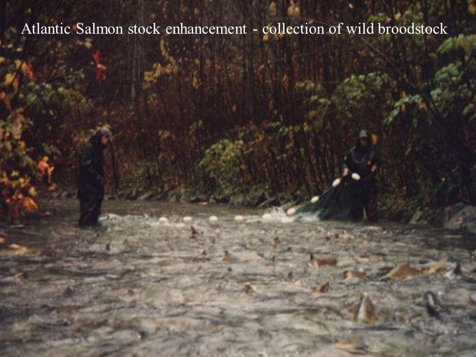 Atlantic Salmon stock enhancement - collection of wild broodstock