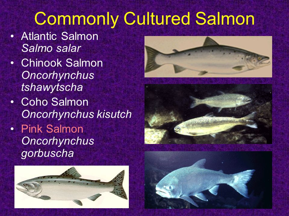 Commonly Cultured Salmon