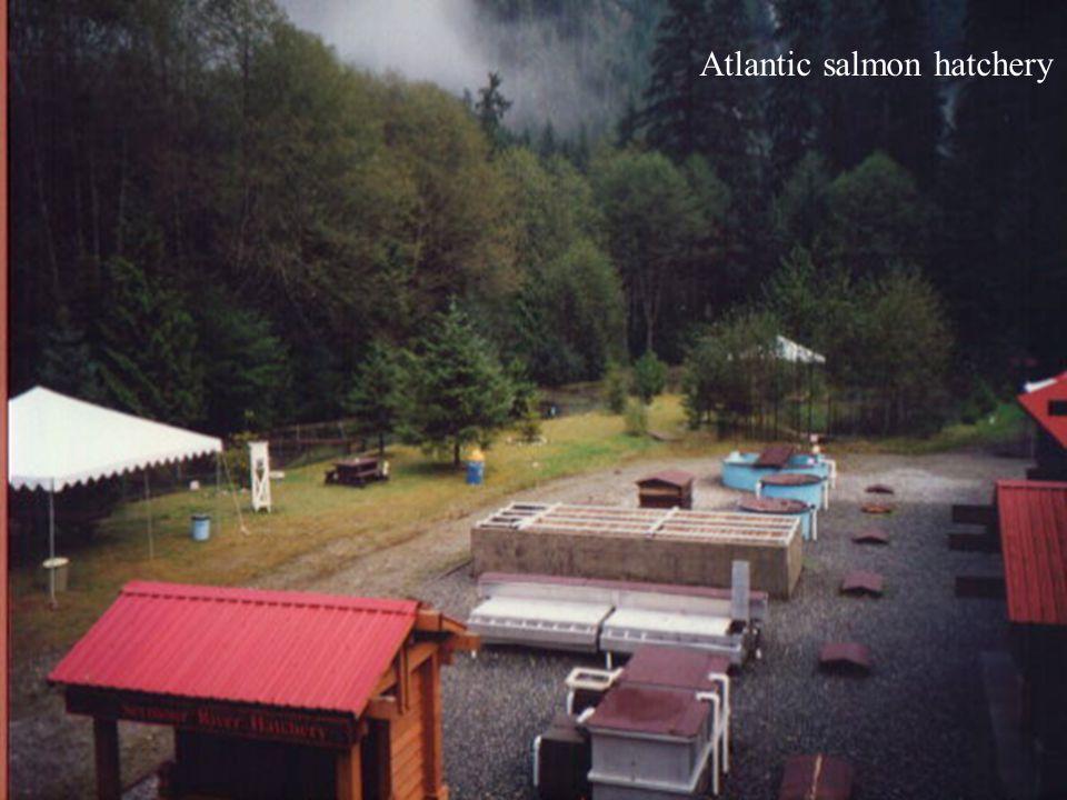 Atlantic salmon hatchery