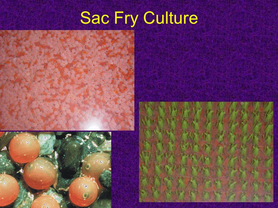Sac Fry Culture