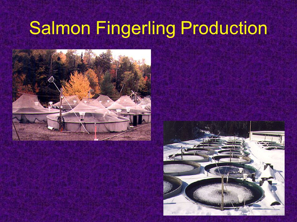 Salmon Fingerling Production