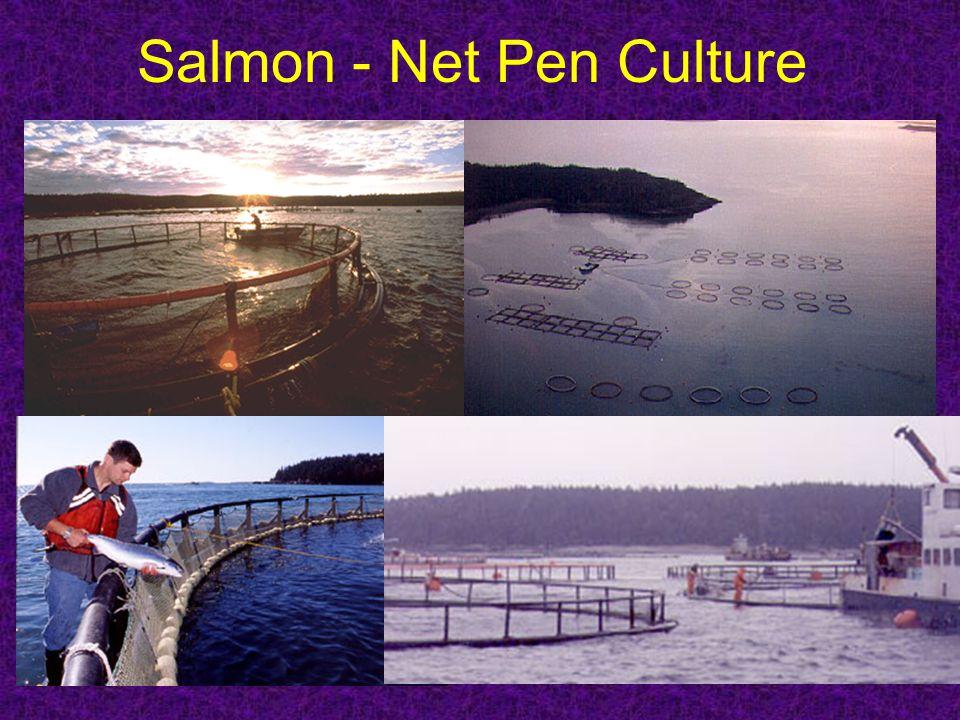 Salmon - Net Pen Culture