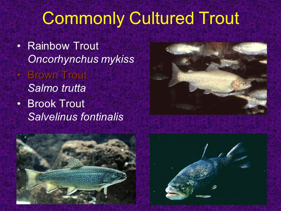 Commonly Cultured Trout