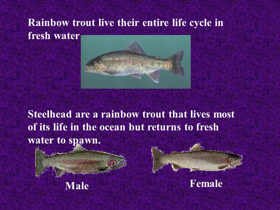 Rainbow trout live their entire life cycle in fresh water
