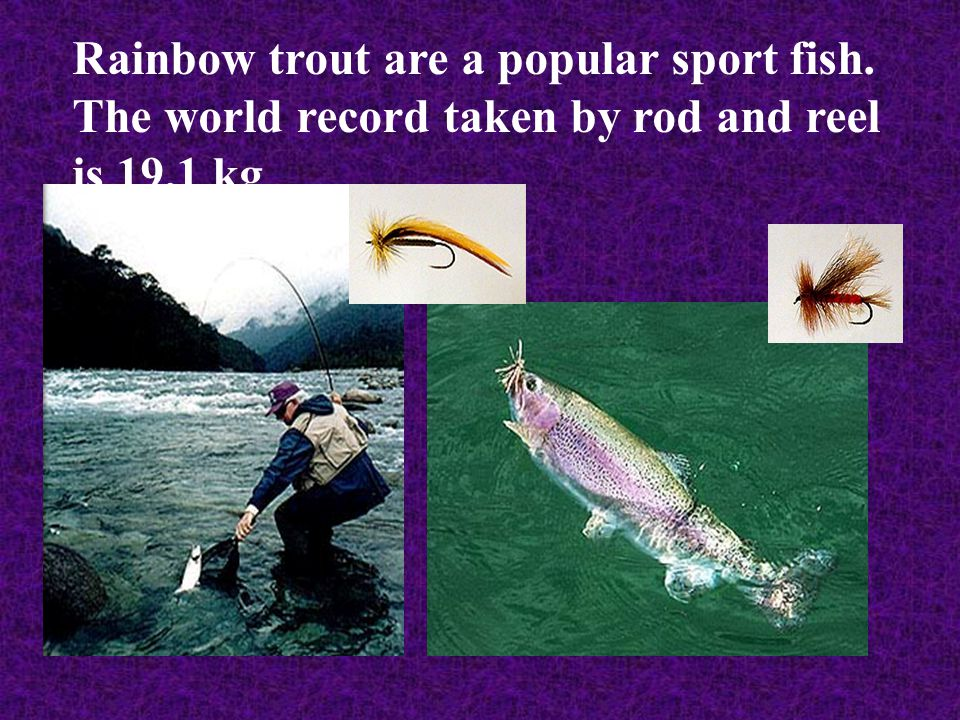 Rainbow trout are a popular sport fish