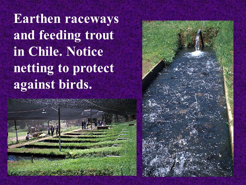 Earthen raceways and feeding trout in Chile