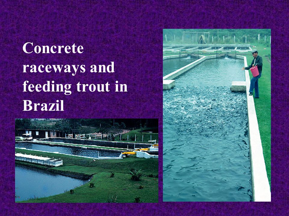 Concrete raceways and feeding trout in Brazil
