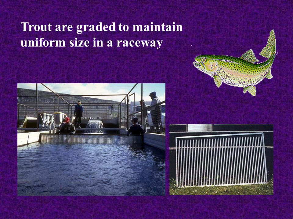 Trout are graded to maintain uniform size in a raceway