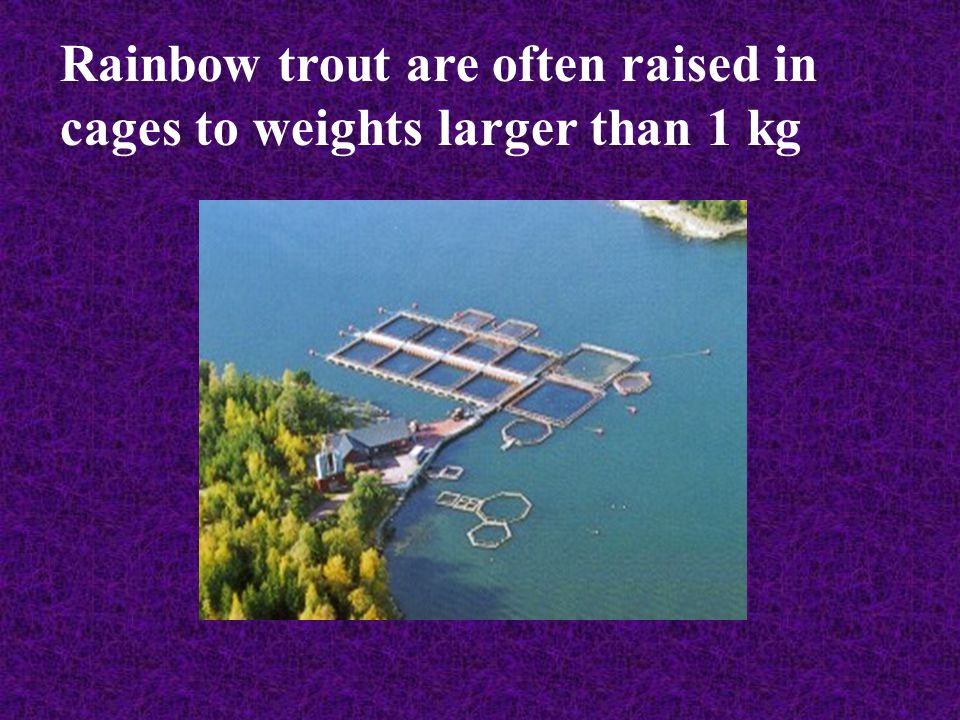 Rainbow trout are often raised in cages to weights larger than 1 kg