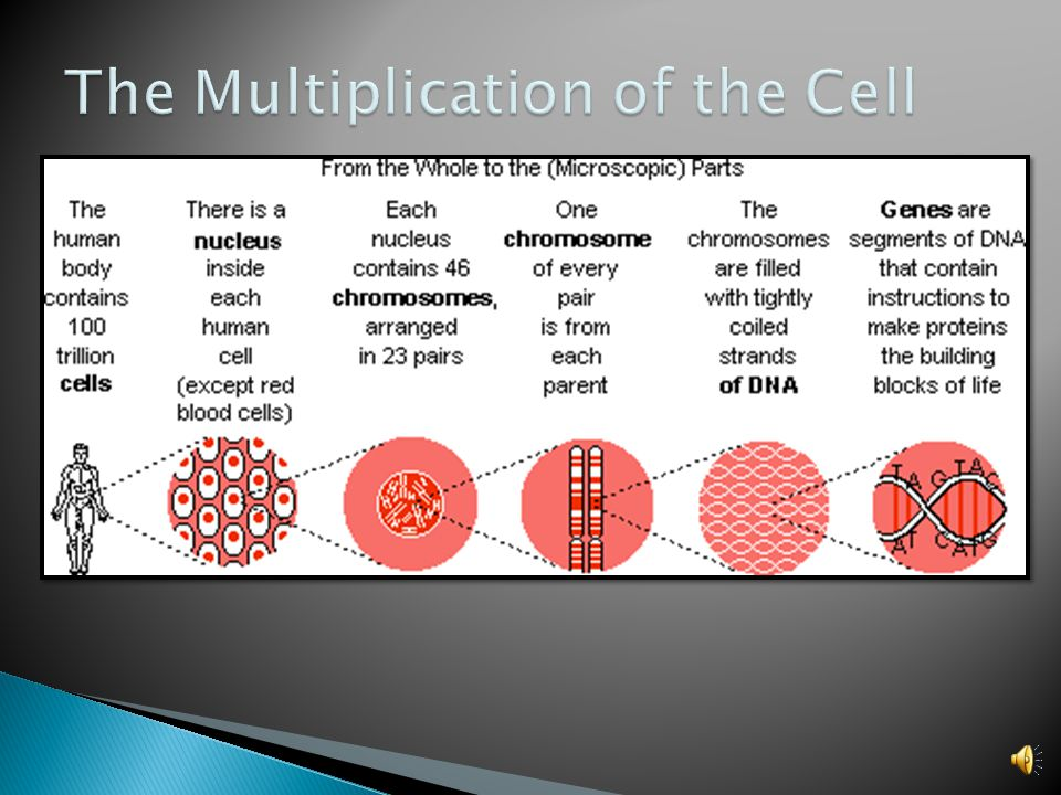 The Multiplication of the Cell