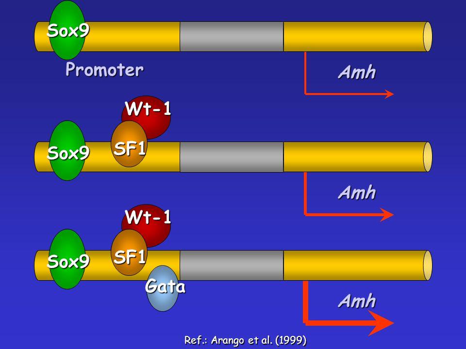 Sox9 Promoter Amh Wt-1 SF1 Sox9 Amh Wt-1 SF1 Sox9 Gata Amh
