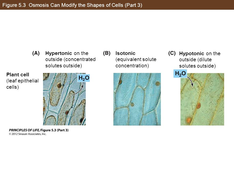 Figure 5.3 Osmosis Can Modify the Shapes of Cells (Part 3)