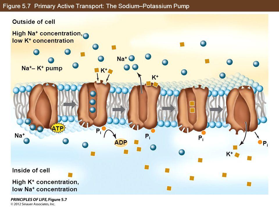 Figure 5.7 Primary Active Transport: The Sodium–Potassium Pump