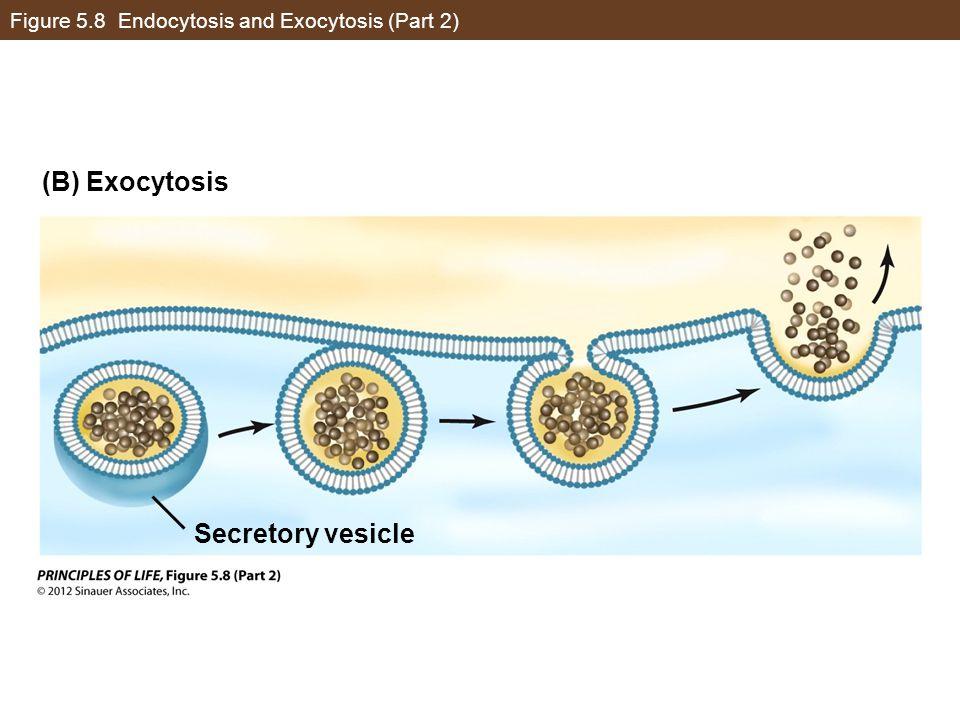 Figure 5.8 Endocytosis and Exocytosis (Part 2)