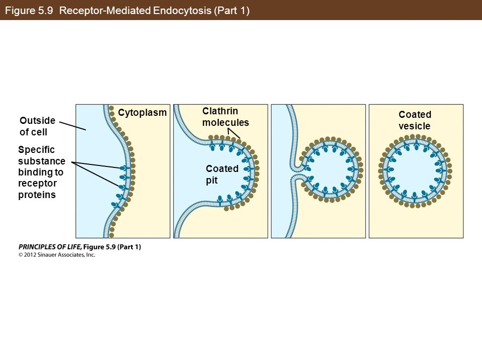 Figure 5.9 Receptor-Mediated Endocytosis (Part 1)