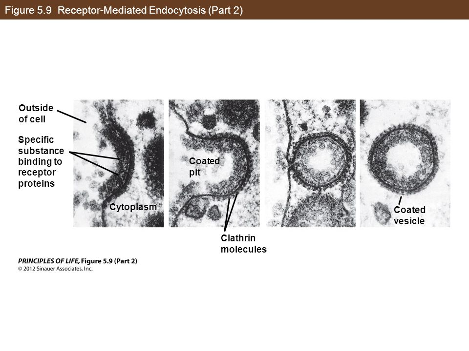 Figure 5.9 Receptor-Mediated Endocytosis (Part 2)