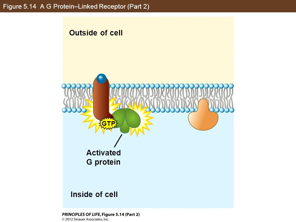 Figure 5.14 A G Protein–Linked Receptor (Part 2)