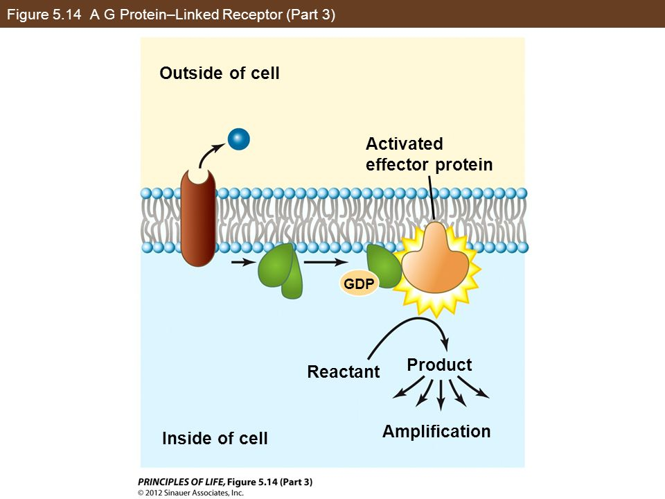 Figure 5.14 A G Protein–Linked Receptor (Part 3)
