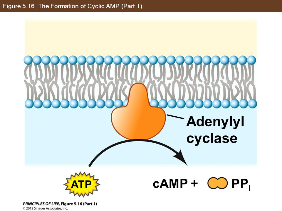 Figure 5.16 The Formation of Cyclic AMP (Part 1)