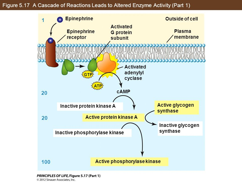 Figure 5.17 A Cascade of Reactions Leads to Altered Enzyme Activity (Part 1)