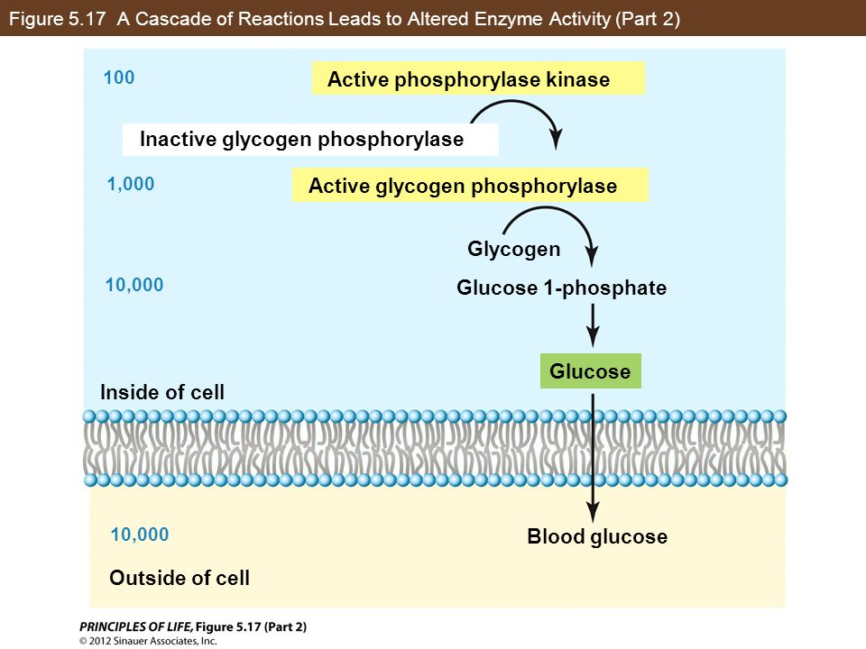 Active phosphorylase kinase