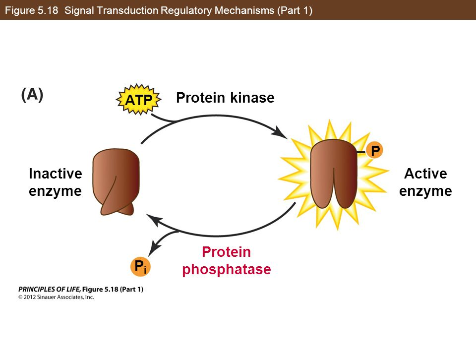 Figure 5.18 Signal Transduction Regulatory Mechanisms (Part 1)