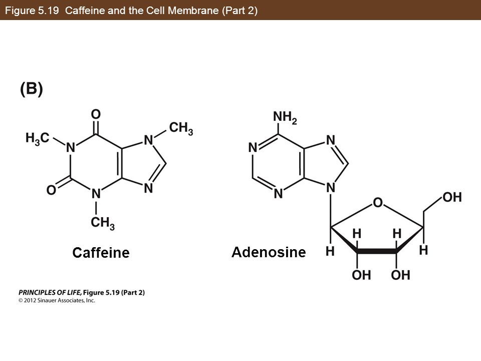 Figure 5.19 Caffeine and the Cell Membrane (Part 2)
