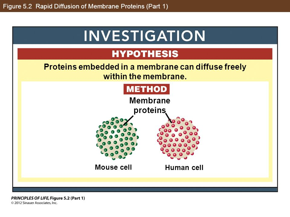 Figure 5.2 Rapid Diffusion of Membrane Proteins (Part 1)