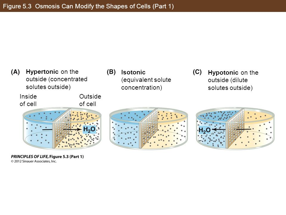 Figure 5.3 Osmosis Can Modify the Shapes of Cells (Part 1)