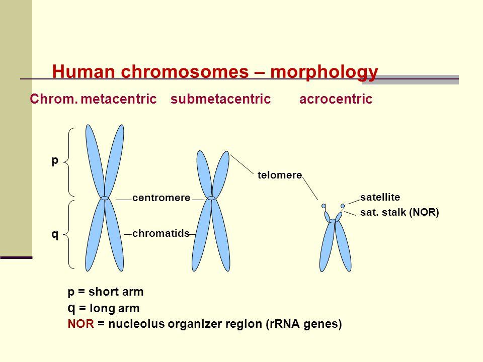 Human chromosomes – morphology