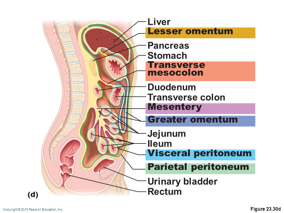 Liver Lesser omentum Pancreas Stomach Transverse mesocolon Duodenum