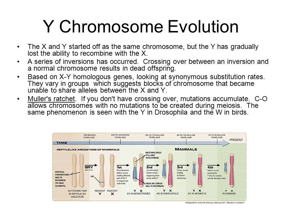 Y Chromosome Evolution