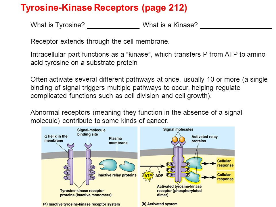Tyrosine-Kinase Receptors (page 212)