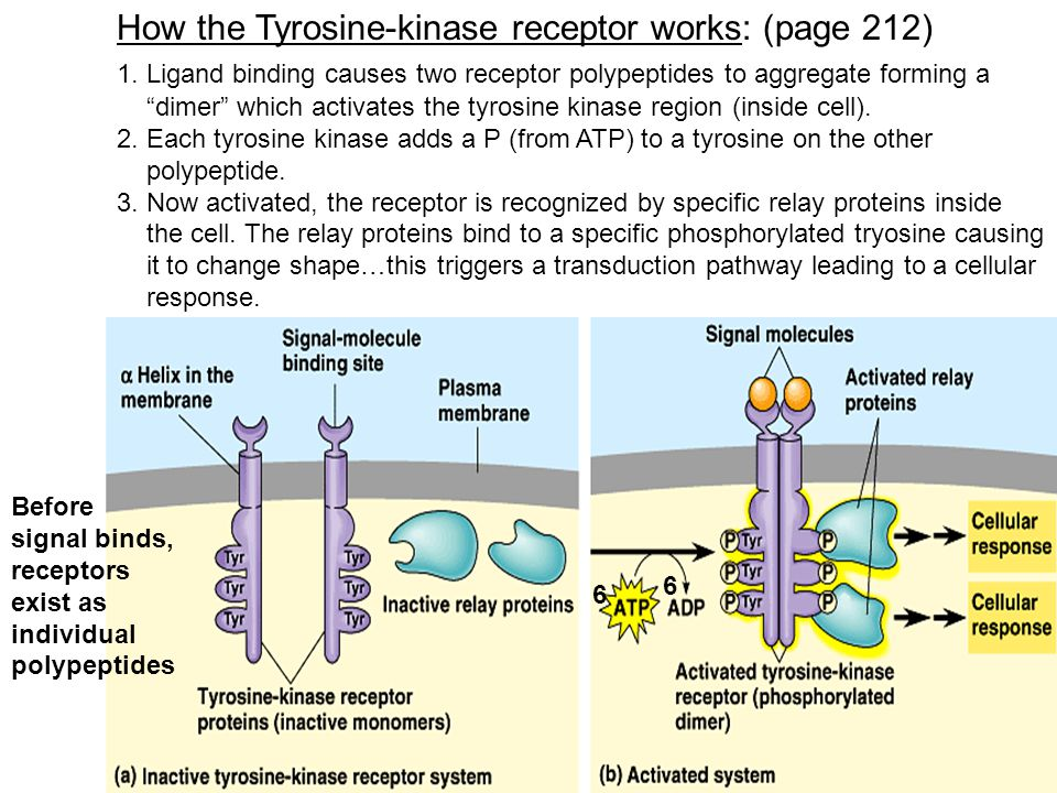 How the Tyrosine-kinase receptor works: (page 212)