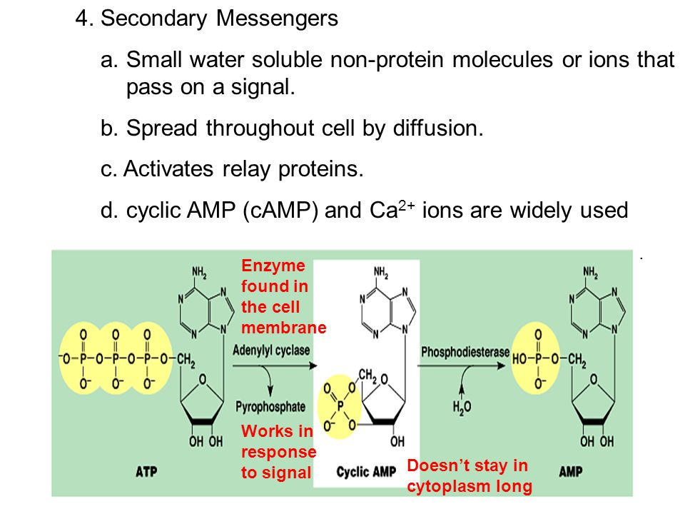 b. Spread throughout cell by diffusion. c. Activates relay proteins.