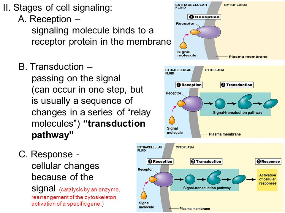 II. Stages of cell signaling: